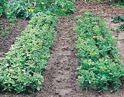 Как вырастить дуб. Выращивание дуба. Создание питомника для выращивания саженцев